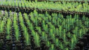 PLANTULAS FORESTALES